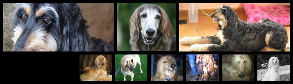 Afghan Hound Club of America – National Rescue